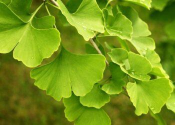 Hellgrüne Blätter des Ginkgo-Baumes