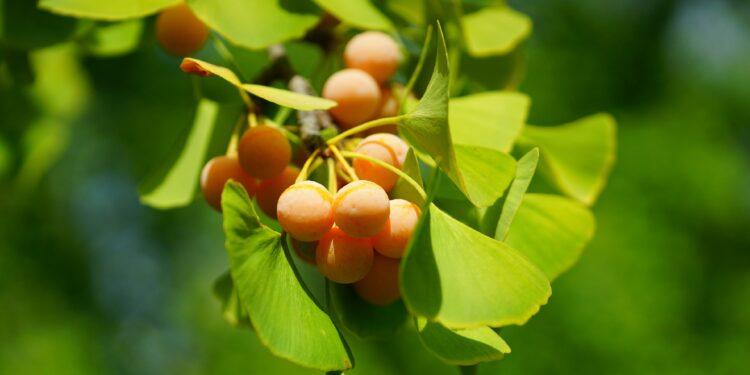 Gelbe kirschenähnliche Früchte des Ginkgo-Baumes