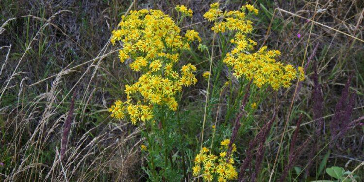 Jakobskreuzkraut mit gelben Blüten in freier Natur
