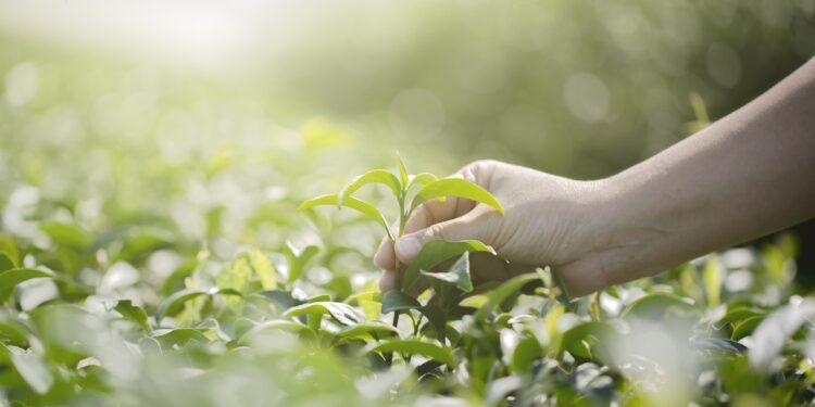 Eine Hand pflückt frischen grünen Tee