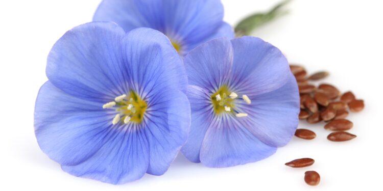 Blaue Flachsblüten und Leinsamen auf weißem Hintergrund