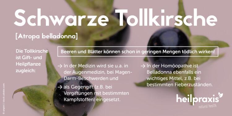 Übersicht zu Anwendungsgebieten und Giftigkeit der Schwarzen Tollkirsche Atropa Belladonna