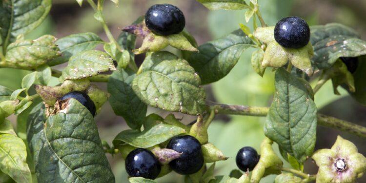 Schwarze Beeren und grüne Blätter der Schwarzen Tollkirsche Atropa belladonna