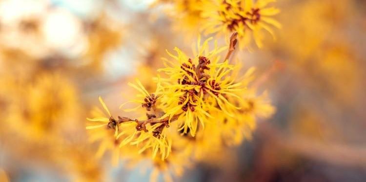 Gelbe Blüten am Zweig der virginischen Zaubernuss