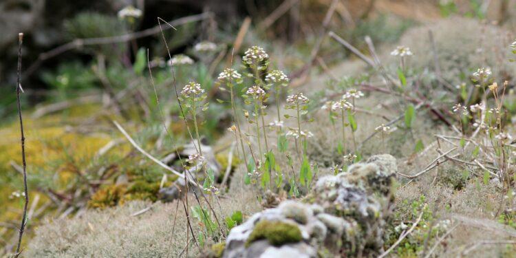 Hirtentäschelkraut wächst auf kargem Boden.