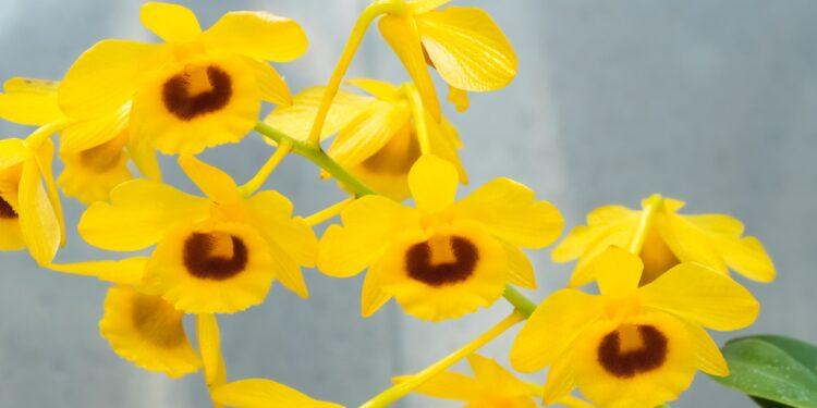 Gelbe Blüten der Orchideenart Dendrobium chrysotoxum.