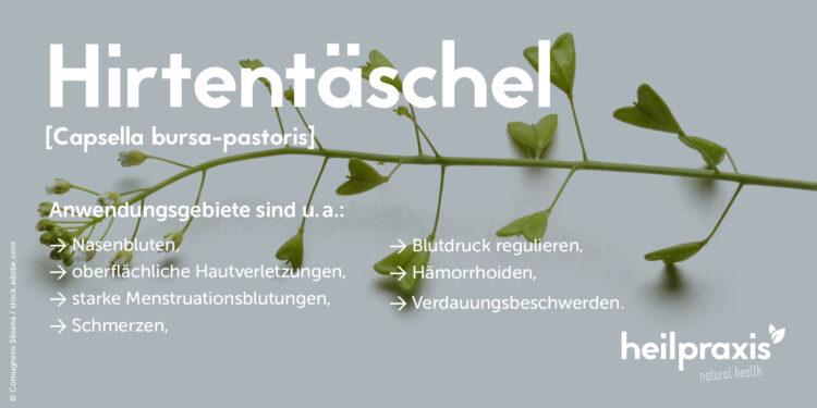 Übersicht über die Anwendungsgebiete der Heilpflanze Capsella bursa-pastoris (Hirtentäschel).