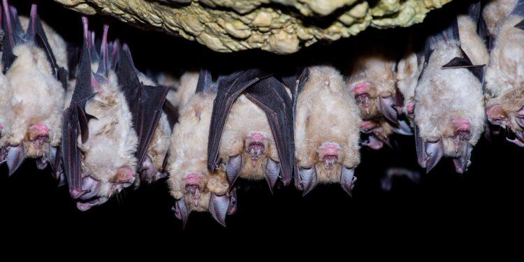 Hufeisennasen-Fledermäuse hängen kopfüber an einer felsigen Oberfläche.