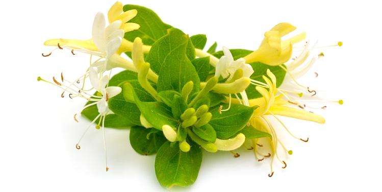 Blätter und Blüten Japanisches Geißblatt vor weißem Hintergrund