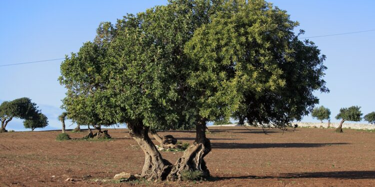 Foto eines Johannisbrotbaumes.