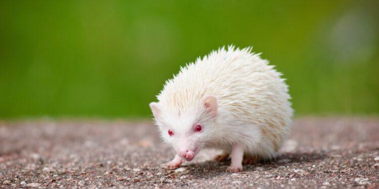 Igel mit Albinismus mit weißem Stachelkleid und roten Augen auf grauem Asphalt vor grünem Hintergrund