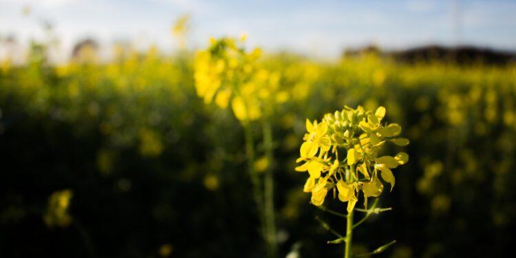 Feld mit gelb blühenden Senfpflanzen vor blauem Himmel