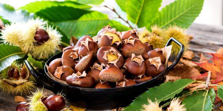 Esskastanien in einem schwarzen Gefäß, daneben Blätter und stachlige Hüllen der Esskastanie