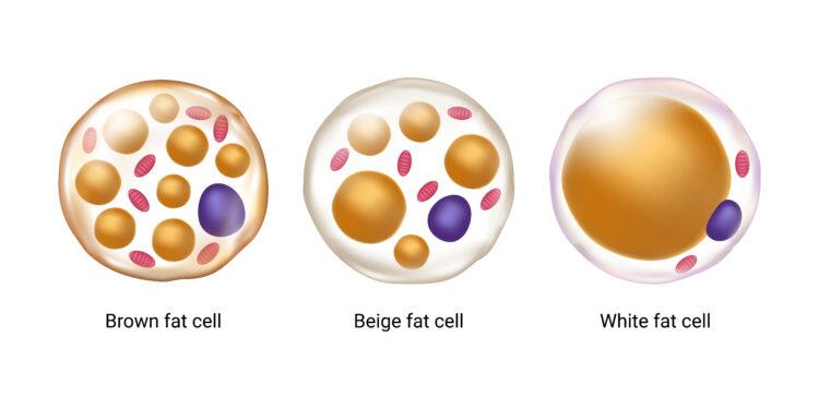 Ein Schaubild, auf dem weiße, braune und beige Fettzellen abgebildet sind.