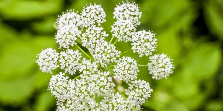 Weiße Blüten der Bibernelle vor grünem Hintergrund