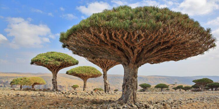 Mehrere Drachenbäume (Dracaena cinnabari) wachen auf kargem Boden.