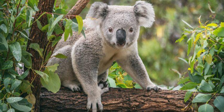 Eukalyptusbaum mit Koala
