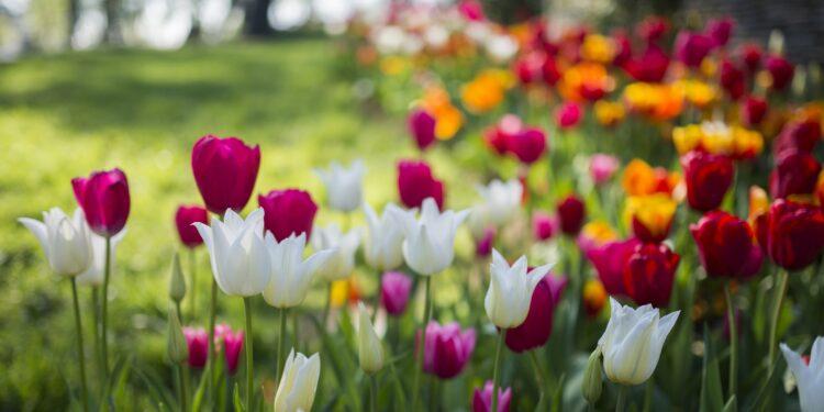Tulpen in verschiedenen Formen und bunten Farben in einem Park