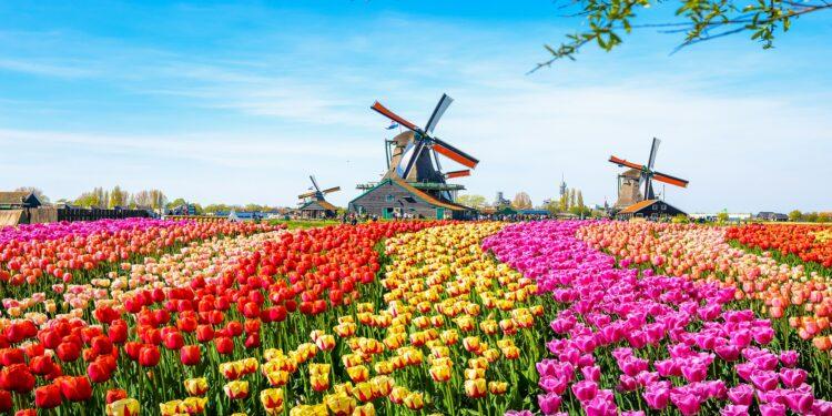 Reihenanbau von Tulpen in verschiedenen bunten Farben im Hintergrund mehrere Windmühlen vor blauem Himmel