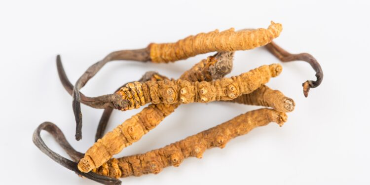 Image of the fungus Cordyceps sinensis.