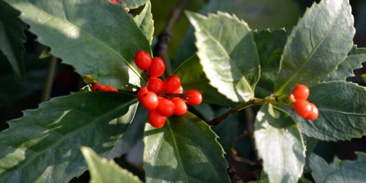 Abbildung der Pflanze Sarcandra glabra