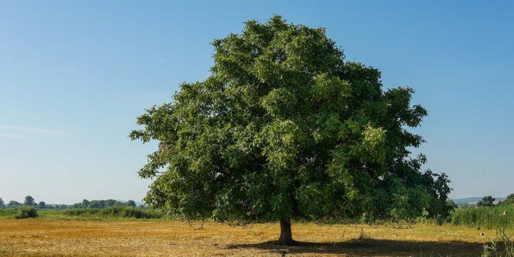Einzeln stehender Walnussbaum mit grünem Laub vor blauem Himmel